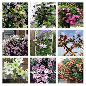 100pcs Multi-colors Clematis Seeds Hardy Plants Flower Seeds Exotic Ornamental Flower Bonsai Seeds