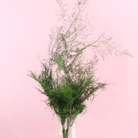 "Preserved Evergreen Plumosus Foliage - 27"" Tall"