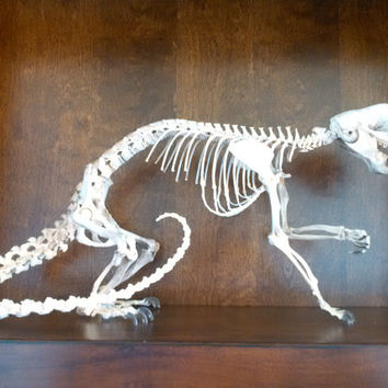 real bone articulated prehensile tail porcupine skeleton taxidermy collection