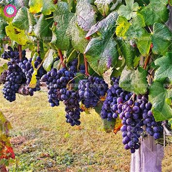 50pcs Hanging Grape Seeds Sweet fruit tree seeds Delicious juicy edible bonsai plants for home garden potted Best packaging 2018