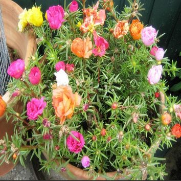 Home Garden Mixed Mexican-rose Sun Plant Portulaca Moss Rose Portulaca Grandiflora Flower Seeds Free Shipping 100 seeds/pack