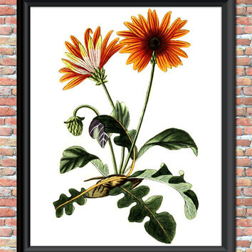 Botanical Daisy Art Print Vintage Flower Plant Antique Home Wall Decor Gardening Orange Tangerine Natural History Patio Digital Printable
