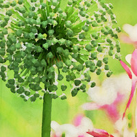Giant Allium print - painted nature photography by Bonnie Bruno, garden image, colorful summer wall decor