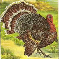 Handsome Turkey Gobbler Strutting His Stuff on Vintage Julius Bien Thanksgiving Postcard