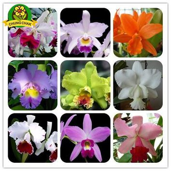 Flowers seeds Cattleya Hybrida 100PCS Famous Flower Orchids seed Bonsai Potted Office Plant Beautiful Home Garden Free Shipping