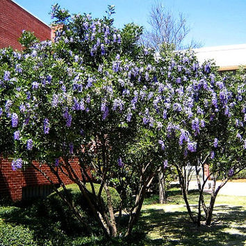 Texas Mountain Laurel, 10 seeds, Sophora secundiflora, fragrant purple blooms, drought tolerant, desert plant, zones 7 to 11, perfect hedge