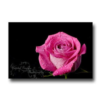 Pink Rose Black Background Print Fine Art Photography 16x20 Home Decor Plants Botanical
