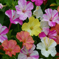 1200 Seeds 100 grams Marvel of Peru Mirabilis Jalapa Four O'clock Garden Flower B0091(1)