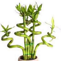 20 pcs / bag,Lucky Bamboo seeds, potted balcony, planting is simple, budding rate of 95%, radiation absorption, mixed colors