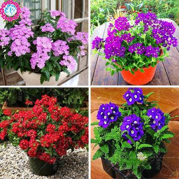 11.11Hot Sale 50pcs Verbena hybrida bonsai seeds.Verbena potted seed.Perennial indoor herbal flowering plants for home&garden