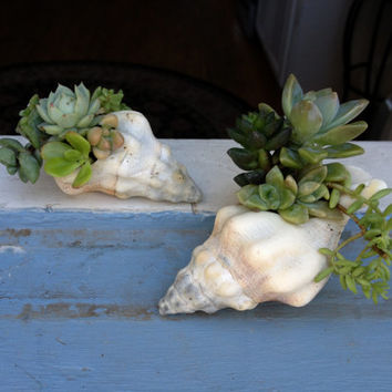 Unique Gift Set 2 Sea Shell Planters Succulent Centerpiece Gardens Table Top Holiday Decoration Christmas centerpiece by Tiz a Garden