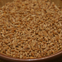 Wheat Grass Seeds 1/2 Pound -- Great Pets Cats -- Wheat Grass is Full of Enzymes! -- Organic and Non - GMO