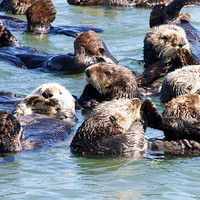 Sea Otter Photo Nature and Wildlife Photo Print Matted 8x10 Free Shipping 20x24 16x20 11x14 5x7