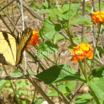 Tiger Swallowtail Orange Flower Original by ClicksByKaren on Etsy