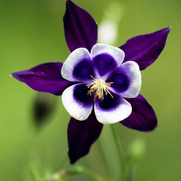 50 Aquilegia Purple White Columbine Rare Exotic Perennial Flower Seeds, Very Beautiful Garden Flower Home Plants Decor