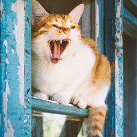 Rustic ginger cat yawns at window Instant Digital Download art animal photography, blue and yellow, shabby chic for cats pets lovers,
