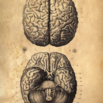 18x24 Vintage Anatomy Brains poster Human Body by curiousprints