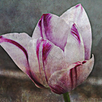 Rough Winter White Tulip, Digital Art Print, Home Decor, Ready to Frame Photo, Wall Hanging, Floral Photograph, Surreal, Nebraska, Primative
