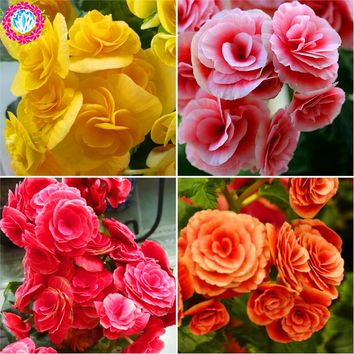 100pcs/bag Rieger begonias Seeds Begonia x aelatior Beautiful Bonsai Multi-flap Flower seeds Decoration Home Garden potted plant