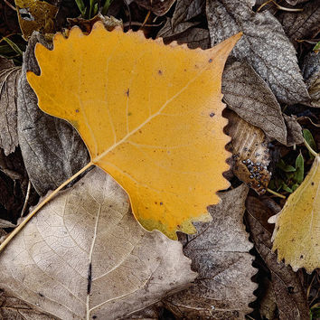 Yellow Leaf - Nature Photograph