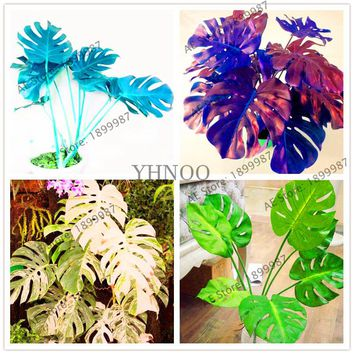 107 pcs/bag Palm Tree Turtle seeds.perennial bonsai flower seeds,Garden Novel Plants Anti-Radiation,monstera ceriman