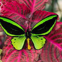 Green Birdwing Butterfly Photography