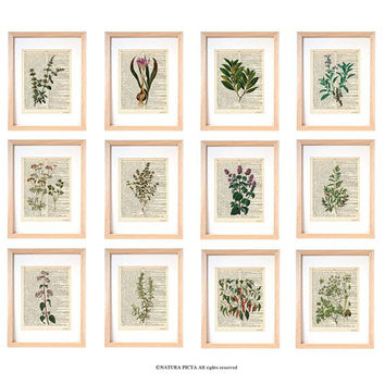 Kitchen herbs wall art set of 12-set of 12 herbs dictionary prints-kichen print set-botanical print-herbs spices wall art-NATURA PICTA-DP184