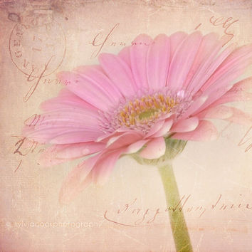 Pink daisy photograph, floral photography, nature, pink, flower,cottage decor, wall art,shabby chic home decor,gerbera daisy