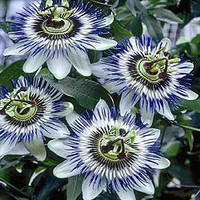 Hardy Blue Passion Flower|Spring Hill Nursery