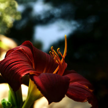 Lily Floral Photography lily by a stream,crimson,red,home decor,brilliant red daylily,closeup,macro photography,sanguine,graceful,flower