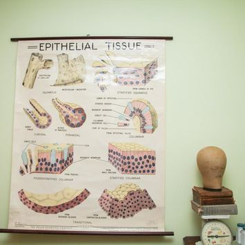 Vintage 1960's Epithelial Tissue Pulldown Anatomy Chart