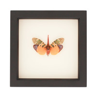 insect specimens for sale   lantern fly display   Bug Under Glass