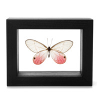 The Evolution Store Framed Pink Tipped Butterfly - ShopBAZAAR