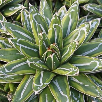 Agave victoriae-reginae 'Ring of Gold', Century Plant, Agave Ring of Gold, buy Agave Ring of Gold for sale, buy Century Plant for sale