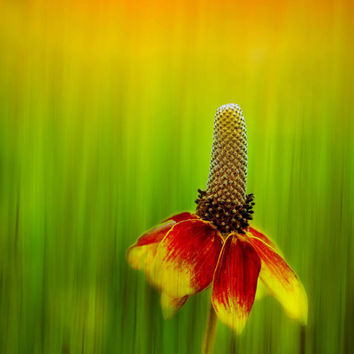 Flower Photography, Mexican Hat in Orange Yellow Red, Matted Fine Art Print, Summer, Brilliant, Colorful, Home Decor