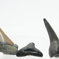 3 Texas Fossil Sharks Teeth Cretaceous Age of Dinosaur Free US Ship