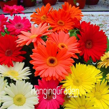 100 Pieces/Lot New Seeds 2017!Gerbera Daisy Hybrids Mix Flower Seeds Bonsai plants easy to grow Seeds for home & garden