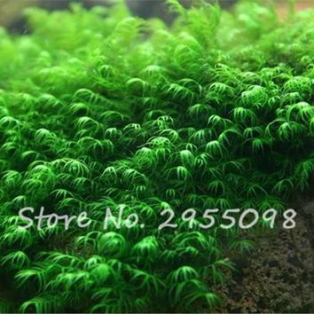 Pearl Moss Seeds Ornamental Plants Water Grass Seeds Live Aquarium Plants Pot For Home Garden Planting 500 Particles / Bag