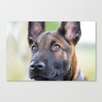 Malinois Canvas Print by tanjariedel