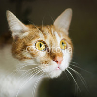 """""""Frightened ginger domestic cat with big yellow eyes, cat face"""" Stock photo and royalty-free images on Fotolia.com - Pic 102734819"""