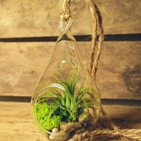 Hinterland Trading Air Plant Tillandsia Bromeliads Kit Teardrop Terrarium with Pebbles and Moss Great Little Houseplant