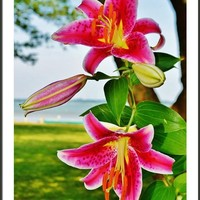 Lily Blooms - Lilium Framed Print