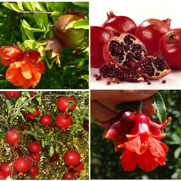 40 Sweet Pomegranate Fruit Tree - Punica Granatum Red Seeds / 40+ seeds