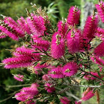 Callistemon violaceus, 100 seeds, Purple Bottlebrush, magenta blooms, drought tolerant, likes it hot and dry, zones 8 to 11, showy shrub