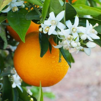 Very Vero - Orange Blossom