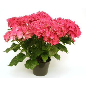 Delray Plants 6in Hydrangea Pink-6HYDRAPREM at The Home Depot