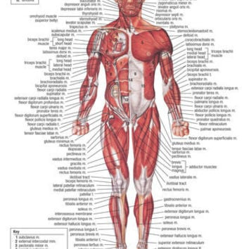 muscular system MEDICAL EDUCATIONAL POSTER 24X36 scientific BODY detailed - YY1