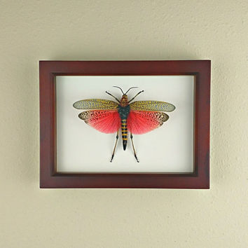 Rainbow Bush Locust // Real Pink-Winged African Grasshopper in Shadowbox Display Frame; Preserved and Mounted Insect Taxidermy Specimens
