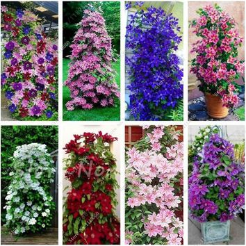 100 Pcs Clematis Seeds,Clematis Vine Seeds Perennial Flower Seeds Climbing Clematis Plants Bonsai Pot Garden Decor Potted Plant