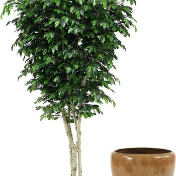 9' Topiary Ficus Tree In Glazed Mocha Stoneware Pot